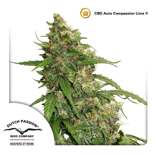 Dutch Passion CBD Auto Compassion Lime