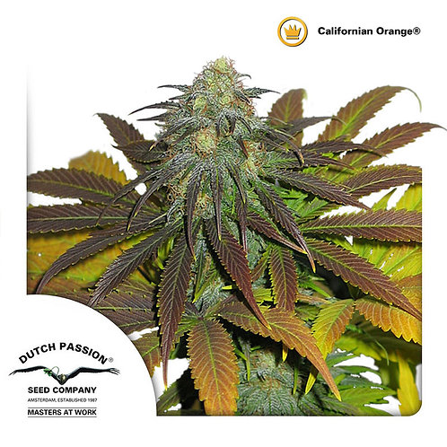 Dutchpassion California Orange