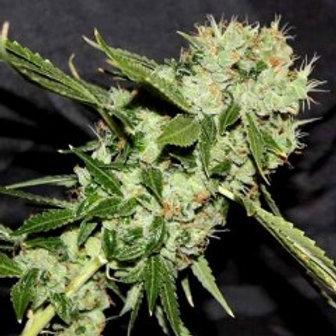 Connoisseur Genetics Cheese N Chaze (Regular Seeds)