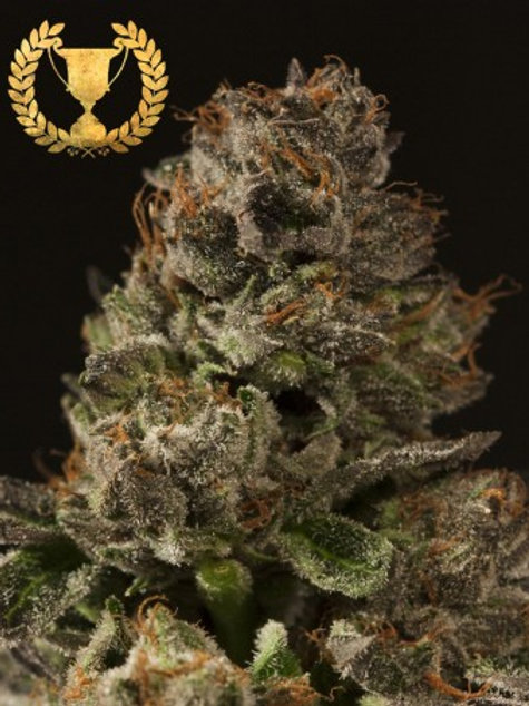 Devils Harvest Seeds Strawberry Sour Diesel Regular