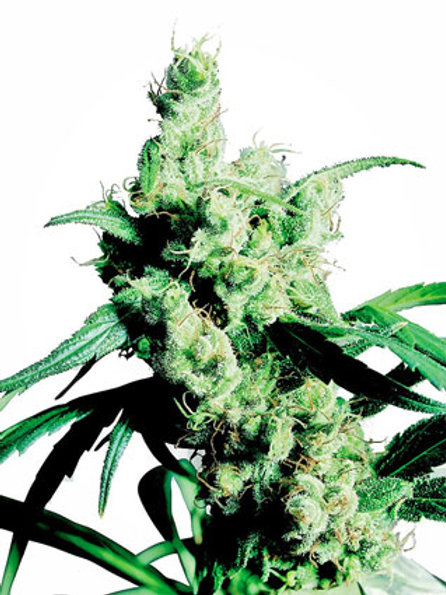Sensi Seeds Feminized Silver Haze #9