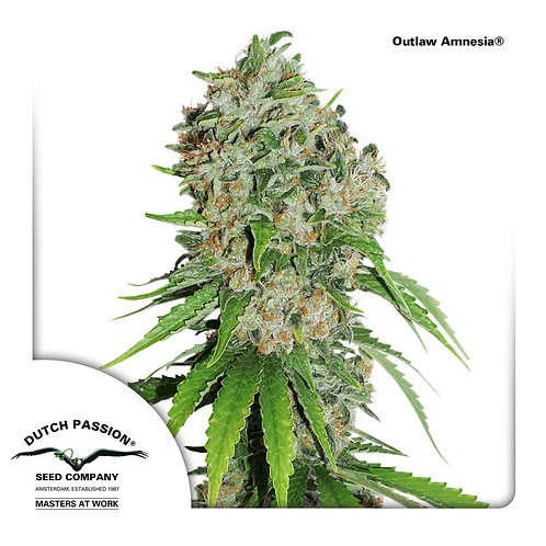 Dutch Passion Outlaw Amnesia