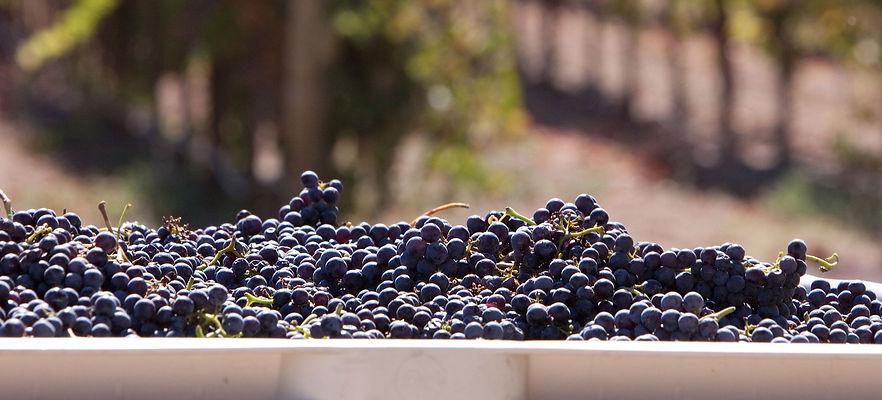 Grapes-harvest-web_edited.jpg