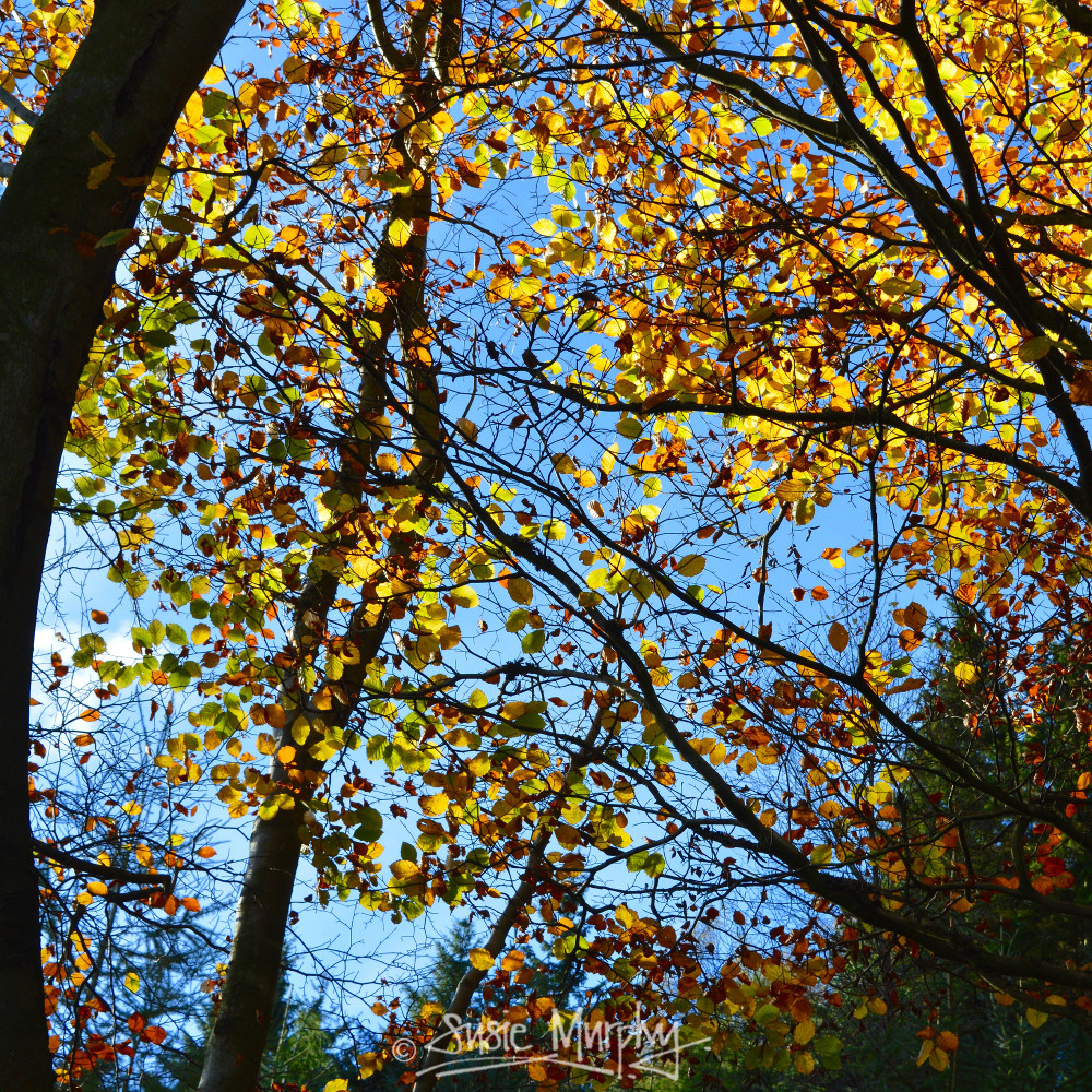 Autumn leaves, photoperiodism