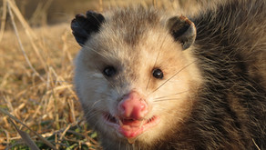 'Possums and People:  Know the Difference
