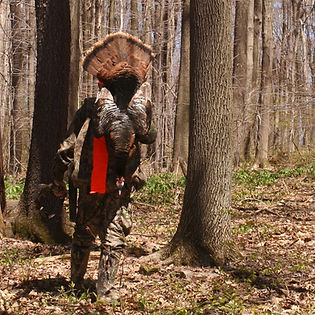 Tips on Turkey Hunting — #12: WHAT TO DO WHEN GOBBLERS GO SILENT