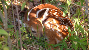 Mama's Fawn Survival Strategy