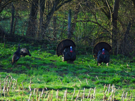 Tips on Turkey Hunting — #5: PROTECT YOUR EARS!