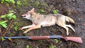 Northern Scratchbox Cons Coyote