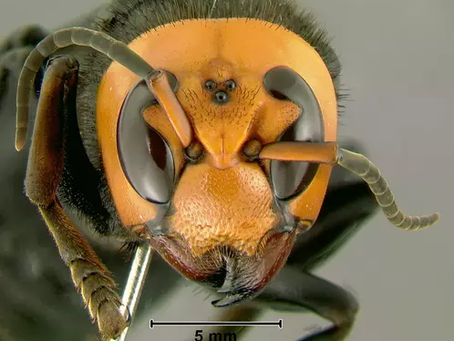 Ataque de vespas gigantes mata ao menos 42 e fere 1,6 mil na China