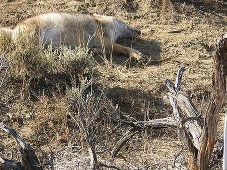 As polêmicas 'bombas de cianureto' usadas nos EUA para matar animais selvagens