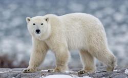 Polar-bear-995851_edited