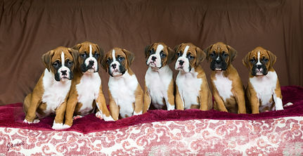 Boxer pups.jpg