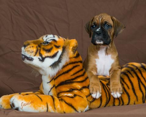 Tiger Boxer Puppy