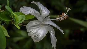 white_Hibiscus_.jpg