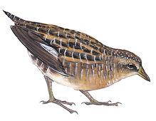 Yellow rail pencil.jpg