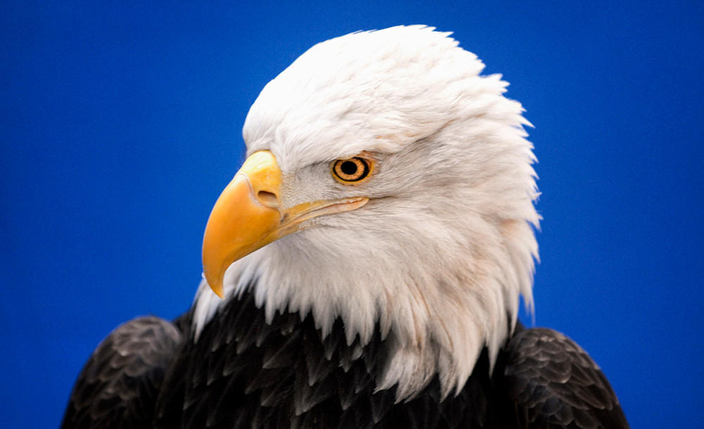 """National Eagle Center's bald eagle """"Angel"""" is on hand during a Capitol rotunda rally for state bonding support to fund an expansion of the center in Wabasha."""