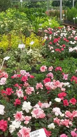Azaleas en flor
