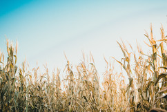 Come Get Lost in the Corn
