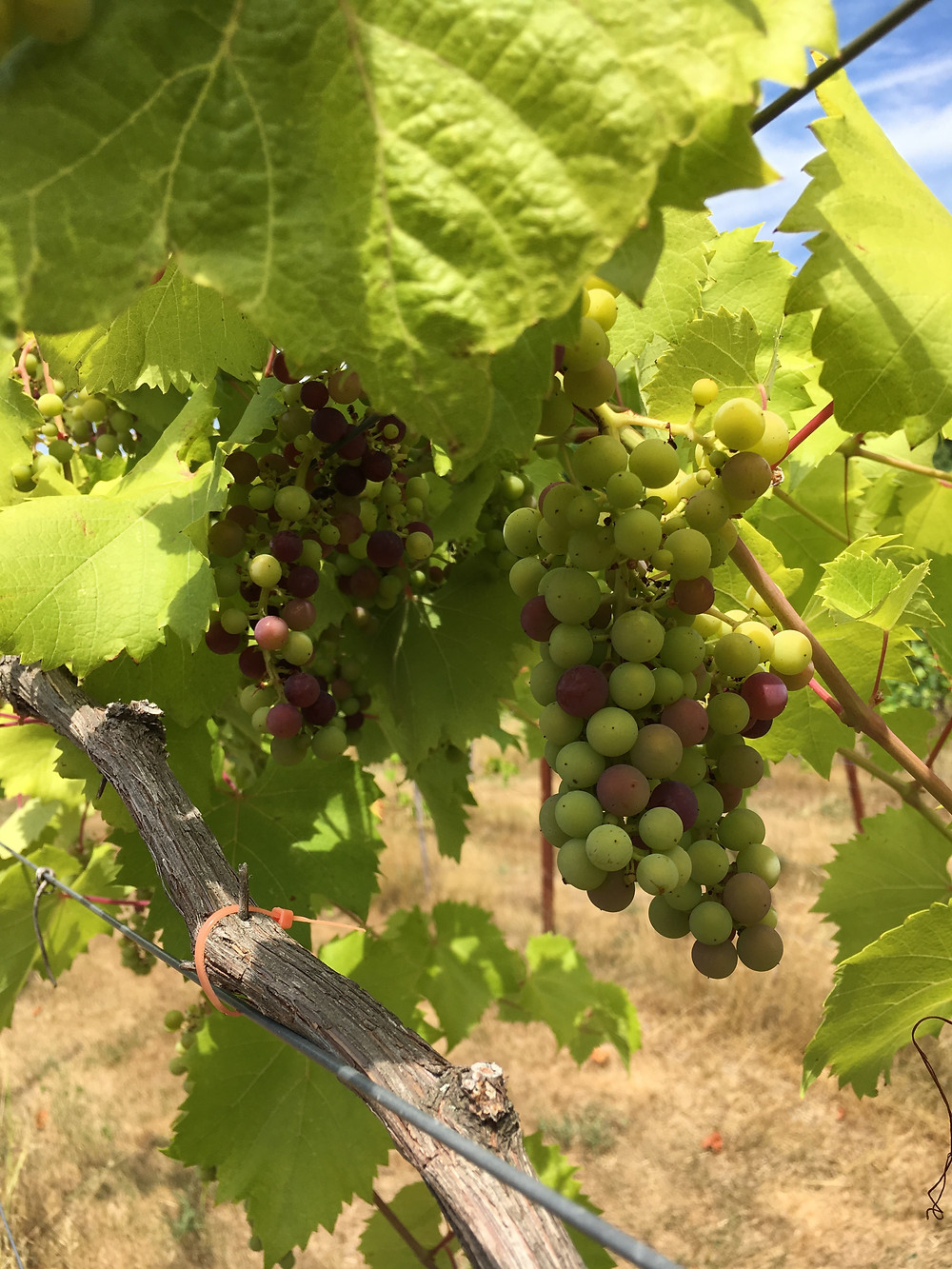 Marquette at veraison