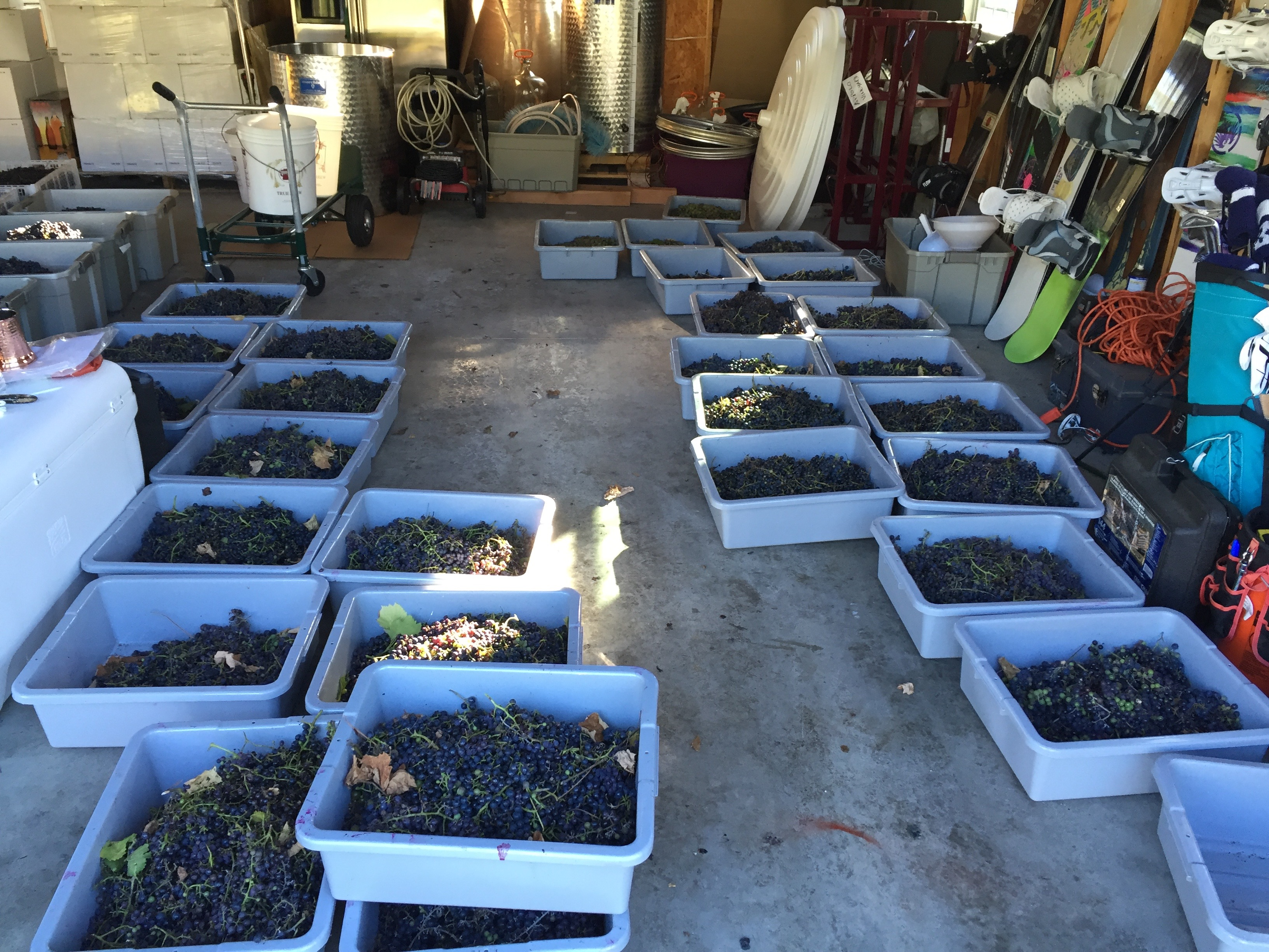 Red Grape Harvest