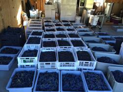 Red Grape Harvest