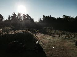Post Harvest Vineyard
