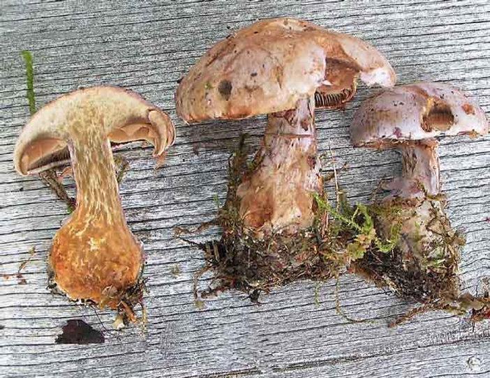 Cortinarius traganus