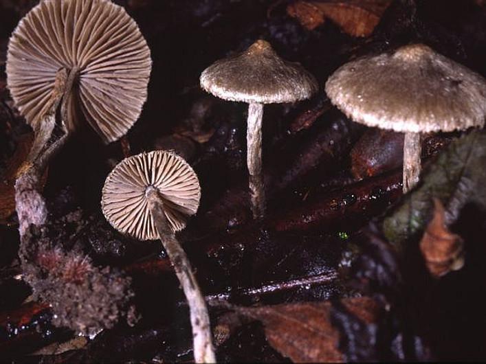 Entoloma araneosum