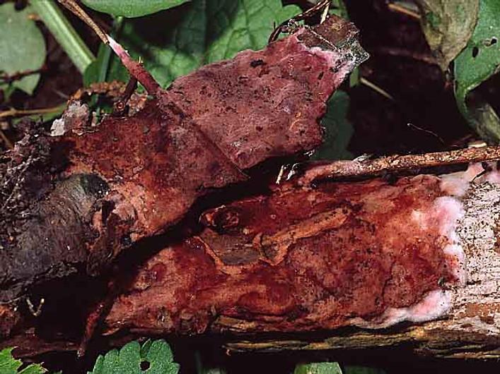 Helicobasidium brebissonii