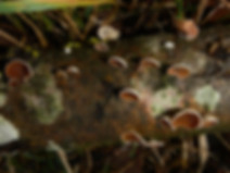 Schizophyllum (Auric...) ampla