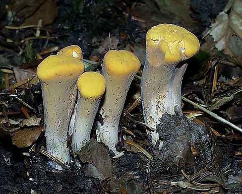 Clavariadelphus truncatus