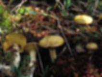 Suillus flavidus