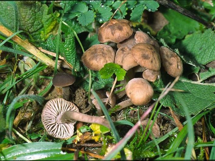 Dermoloma pseudocuneifolium