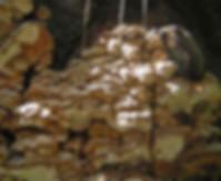 Antrodia serealis
