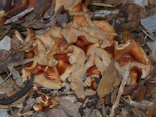 Gymnopus luxurians