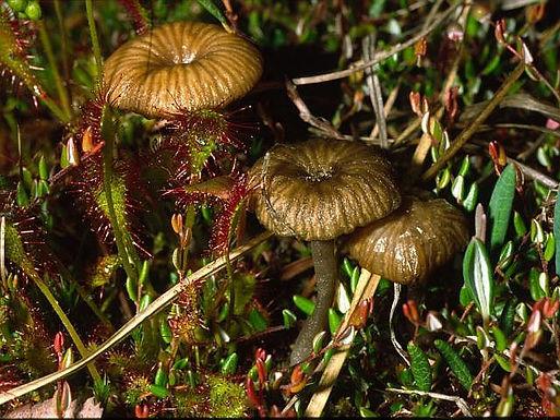 Omphalina gerardiana
