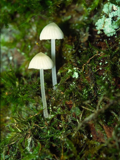 Mycena alba