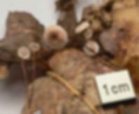 Marasmius quercophylus