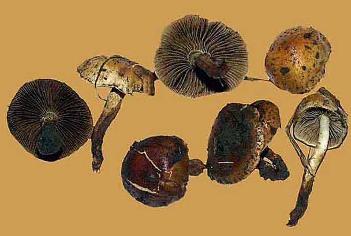 Pholiota highlandensis