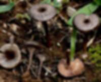 Entoloma phaeocyathus