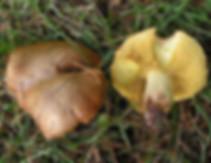 Suillus collinitus