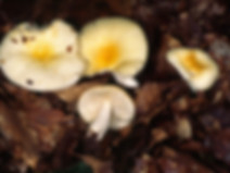 Russula solaris