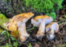 Cortinarius multiformis