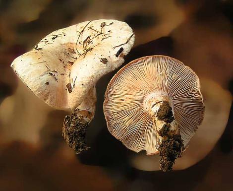 Lactarius pubescens