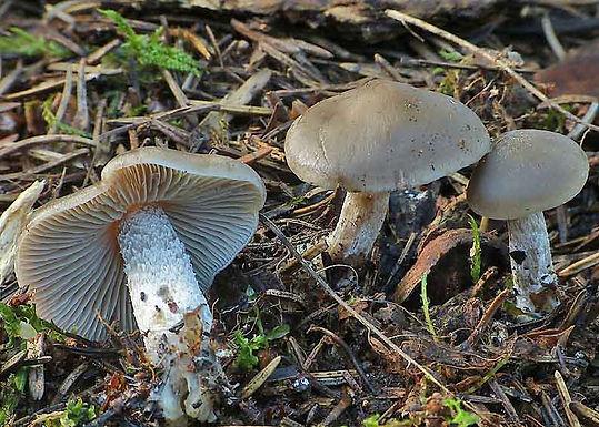 Lyophyllum boudieri