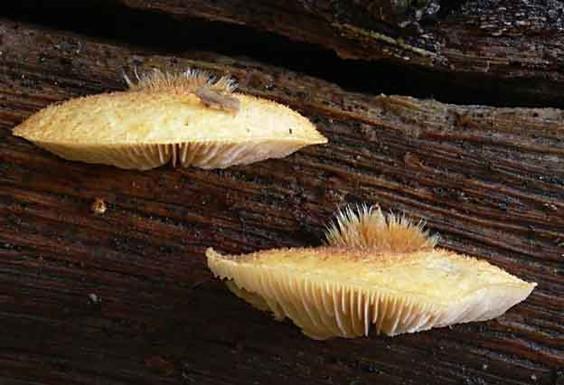 Crepidotus crocophyllus