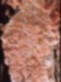 Oligoporus placenta