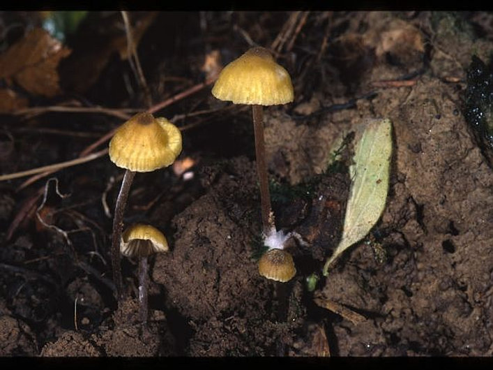 Entoloma pleopodium
