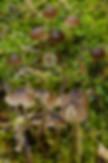 Mycena atropapillata